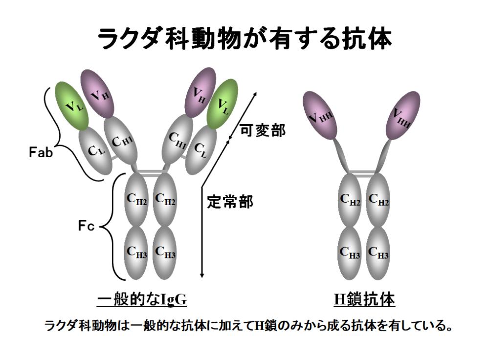 VHH抗体1